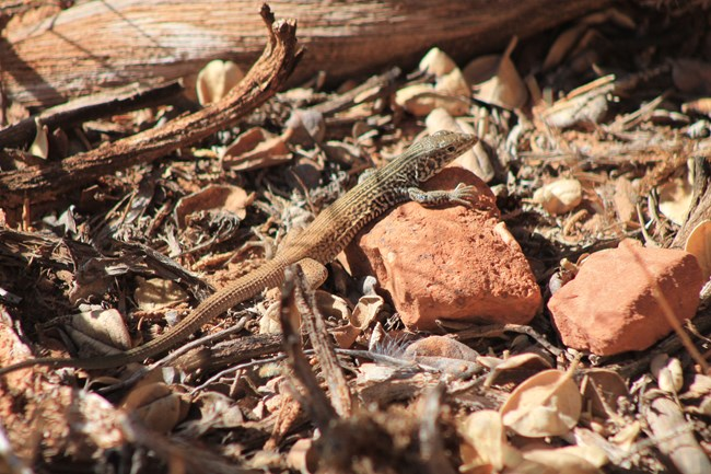 Reddish brown lizard with long slender tail and dark stripes and spots starting from the lizards head and fading towards the end of its torso. The lizard is perched on a red stone among dried leaves and sticks.