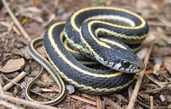 Black coiled snake with solid yellow stripe down the middle of its back and cream-colored underside