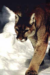 Mountain lion walking along a snowy path
