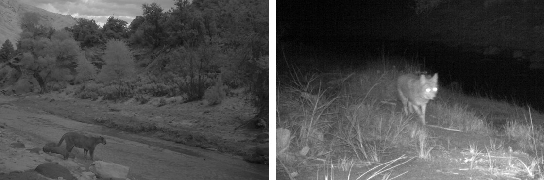 Two black and white photos taken at night: mountain lion by a dry creek and a coyote walking through grass.
