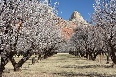 Blooming apricot trees in Mulford orchard