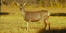 Mule Deer, Doe, standing in a meadow
