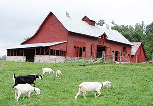 View of goats in front of barn