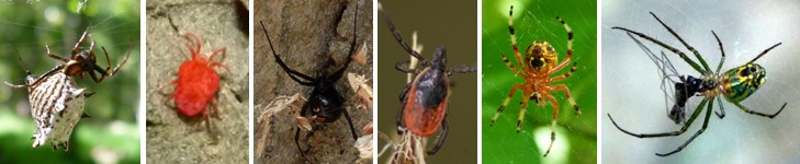 These are arachnids: Spined Micrathena, Red Velvet Mite, Black Widow, Deer Tick, Marbled Orb Weaver, Orchard Orb Weaver.