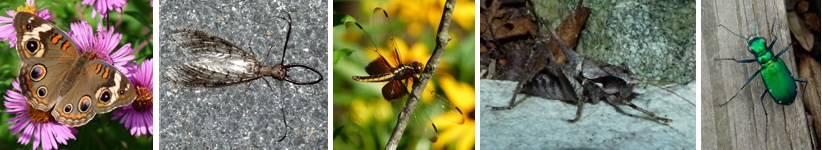 These are insects: Common Buckeye butterfly, Dobsonfly, Widow Skimmer Dragonfly, Keeled Shield-back Katydid, Tiger Beetle.