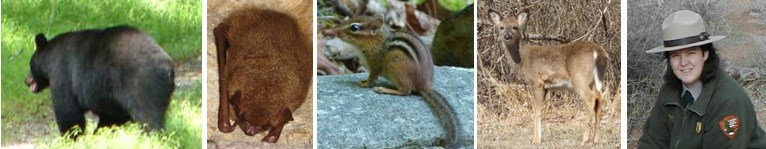 Black Bear, Eastern Pipistrelle Bat, Eastern Chipmunk, White-tailed Deer, Park Ranger. What types of animals are these?
