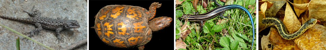 Northern fence lizard, eastern box turtle, five-lined skink and garter snake. What types of animals are these?