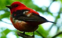 Photo of a male scarlet tanager. Should you Watch the birds?
