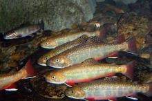 A school of brook trout.
