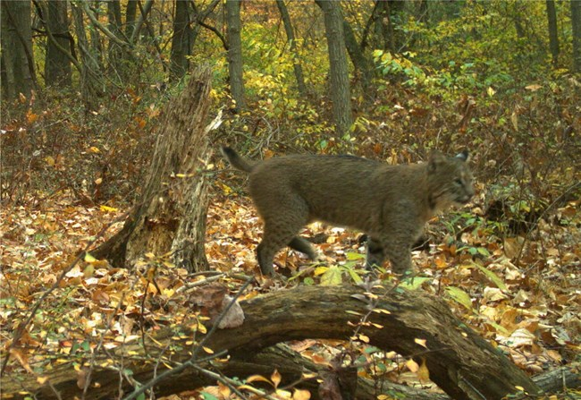 Bobcat in Catoctin Mountain Park