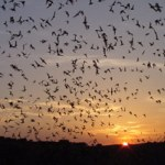 Photo of the nightly exodus of Brazilian (Mexican) free-tailed bats from Carlsbad Cavern