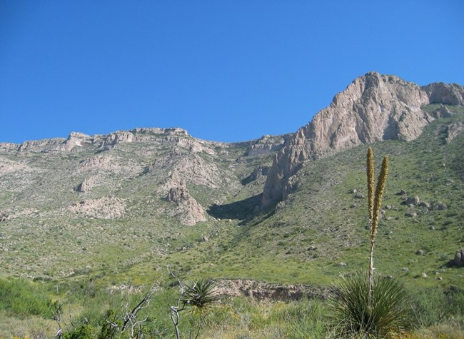 A blooming sotol in the foreground, the Guadalupe Mountains in the background