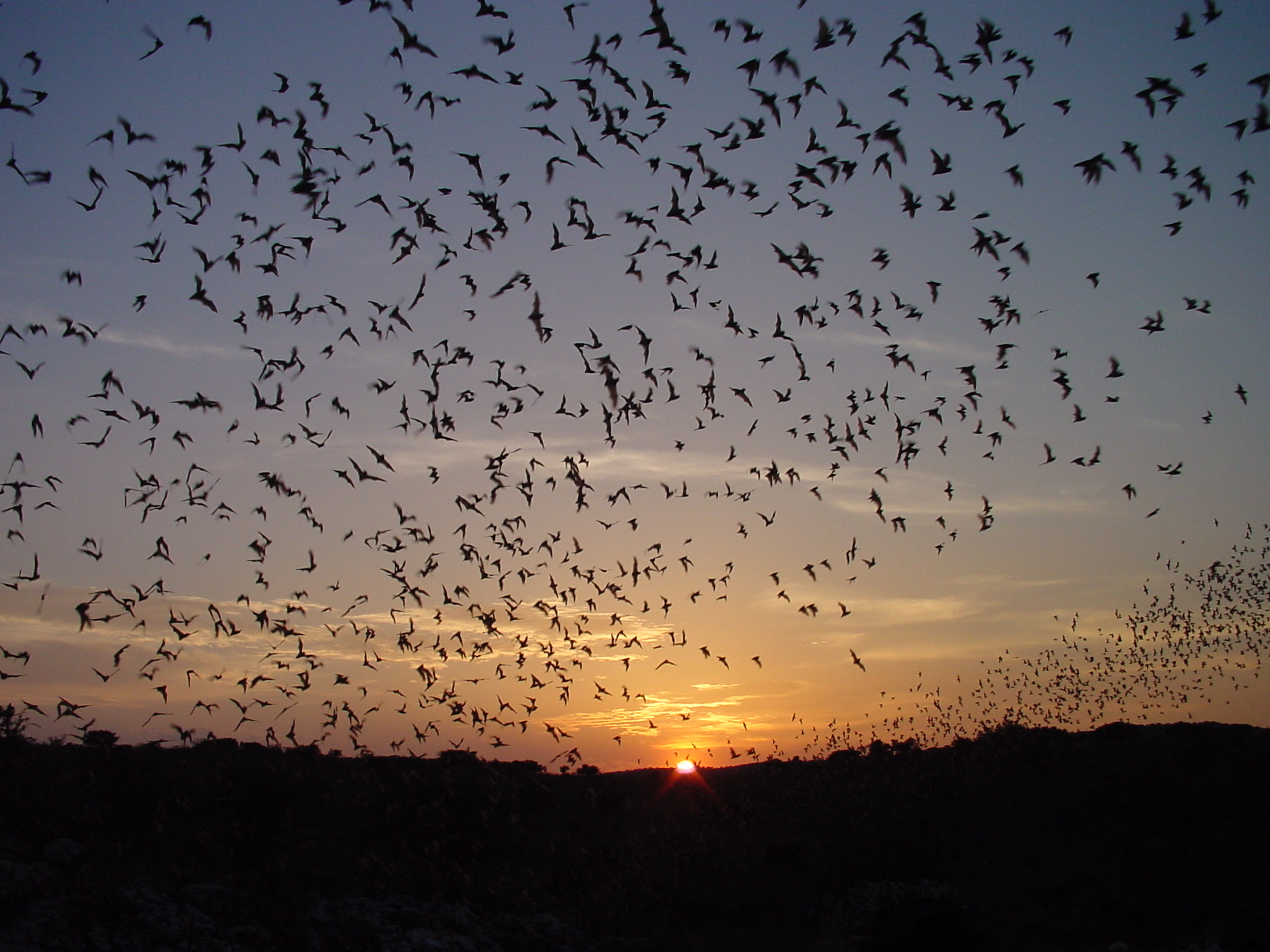 Bat Flight at sunset