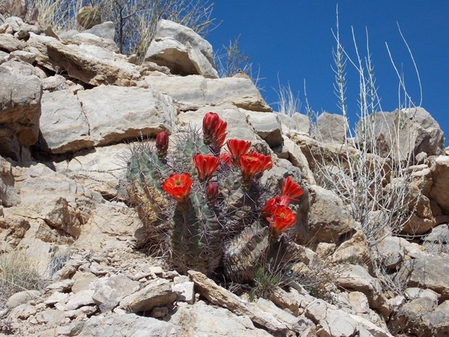 Photo of red blooming claret cup cactus.
