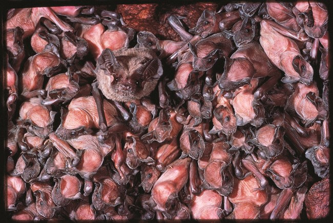 Photo of Brazilian free-tailed bats