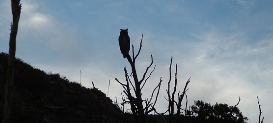 A great horned owl (Bubo virginianus) greets sunrise in Carlsbad Caverns National Park.