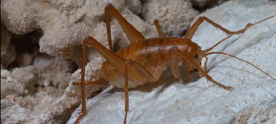Photo of adult female cave cricket.