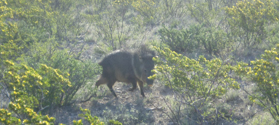 A javelina, also known as collared peccary (Pecari tajacu), moves among the creosotebush (Larrea tridentata) in Carlsbad Caverns National Park.