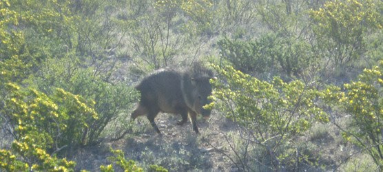 Photo of a javelina.