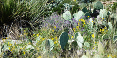 Rain showers can make the Chihuahuan Desert come alive with color throughout the year.