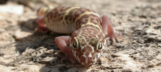 Texas banded gecko (Coleonyx brevis) is the only species of gecko in Carlsbad Caverns National Park.