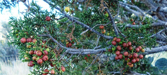 The reddish-brown fruits of the female plant of Pinchot juniper.