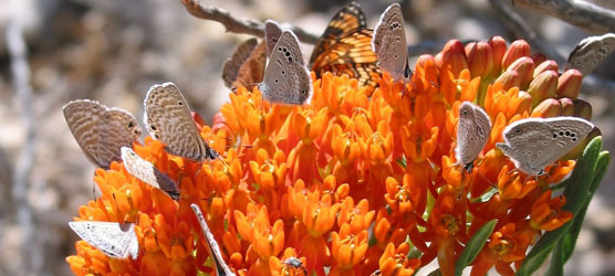 Orange butterflyweed (Asclepias tuberosa) isn't just an important nectar source for this mix of butterflies—it also is a primary food for the caterpillar of the monarch butterfly (Danaus plexippus) and its relatives. It is among the park's perennial plants that blooms reliably in the fall.