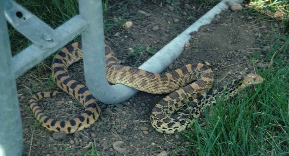 Bull Snake close to Picnic Table