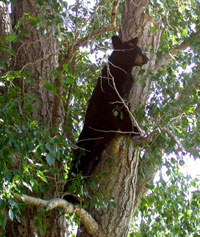 color photograph of yearling black bear cub in cottonwood tree