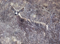 color photograph of mule deer facing camera with large ears prominent