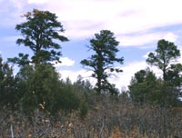 Color photograph of three Ponderosa Pines on ridge silhouetted against sky.