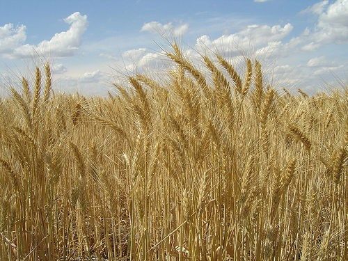 Photo-Wheat