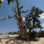 A 1,600-year-old bristlecone pine on the Spectra Point Trail