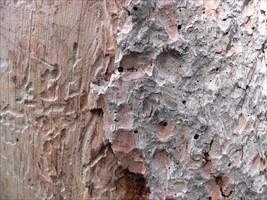 Spruce Beetle Damage