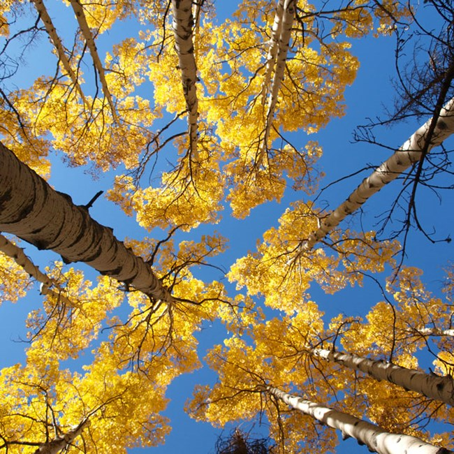 Fall Aspen trees with golden leaves, seen from below.