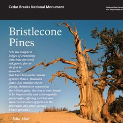 Close up capture of bristlecone pine brochure