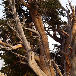 Closeup photo of bristlecone pine tree.