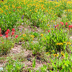 Patch of red, yellow and blue wildflowers.
