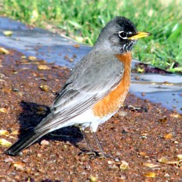close-up of robin on the ground