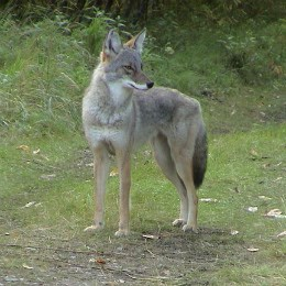side view of coyote