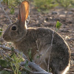 close-up of side view of cottontail