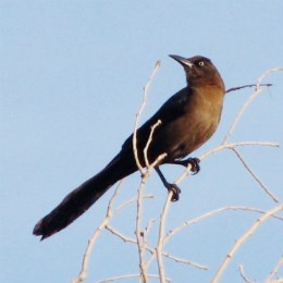 grackle perched on a slender branch