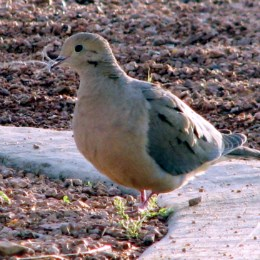 close-up of mourning dove on the ground