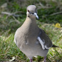 close-up front view of white-winged dove