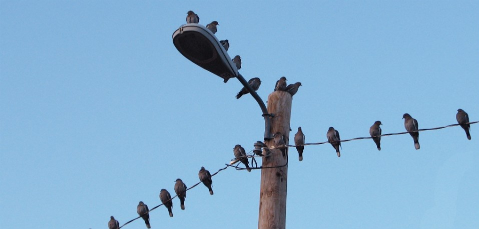 tens of mourning doves perched on electrical wires and street light