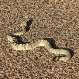 striped snake winding across pebbled ground