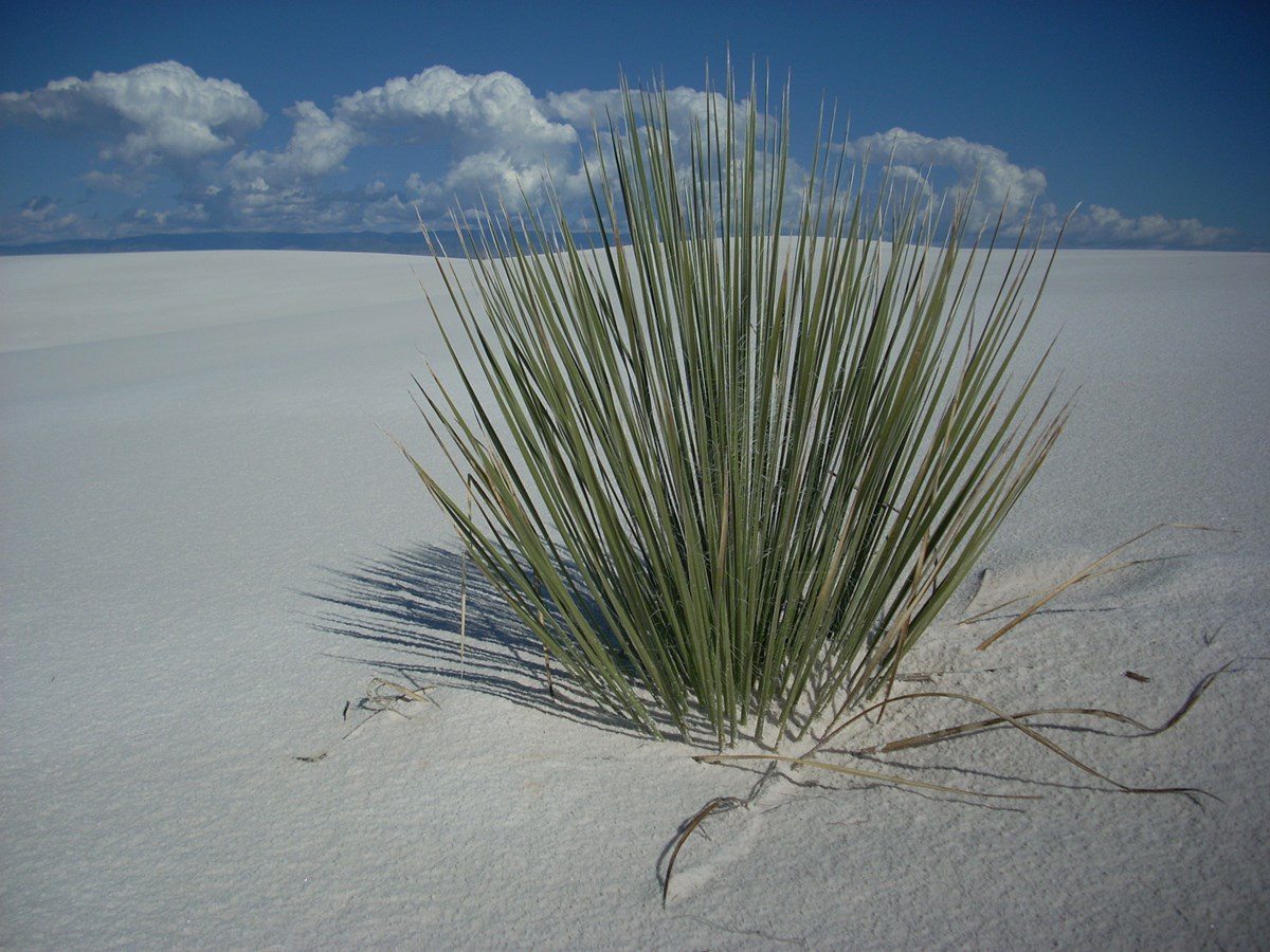 Photo of a plant at White Sands National Monument