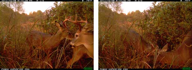 Two White-Tailed Deer Bucks in rut.