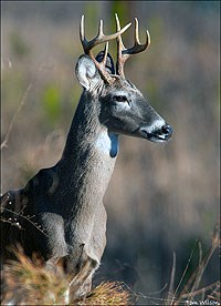 8-Point male White-tailed Deer