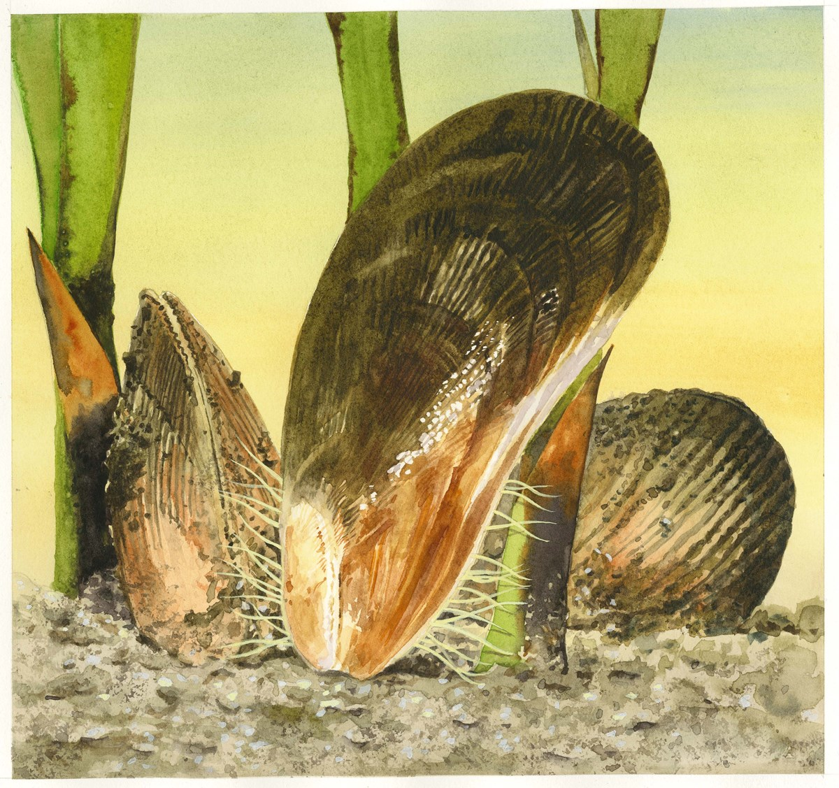 Illustrated ribbed mussel shells sit upright in brown dirt near green aquatic plant stems.